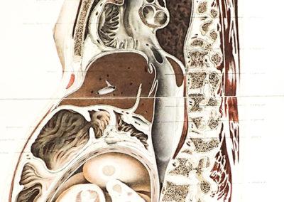 'Die lage des uterus und foetus am ende der schwangerschaft' by Wilhelm Braune (1831–1892)